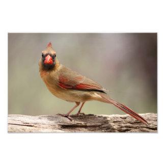 Cardinal féminin photographes