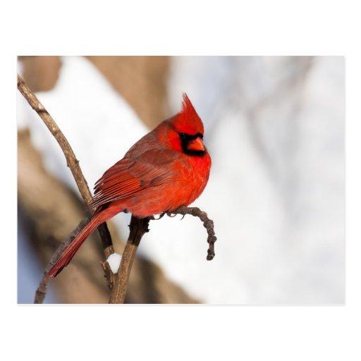 Cardinal II Carte Postale