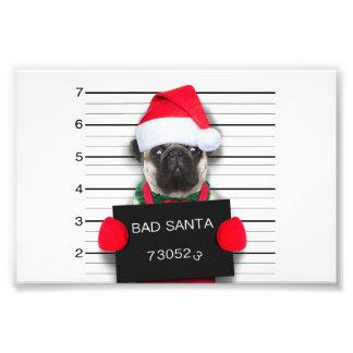 Carlin de Noël - chien de photo - carlin de père