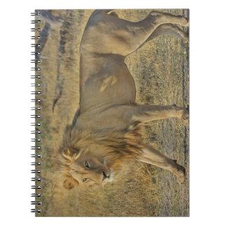 Carnet Beau mâle de lion marchant sur la savane