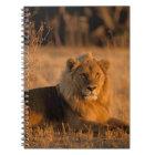 Carnet L'Afrique, Botswana, delta d'Okavango. Lion (Panth