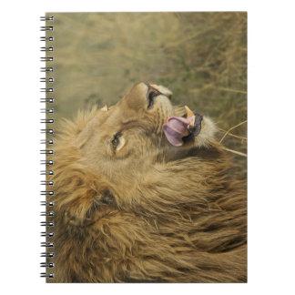 Carnet Portrait de mâle de lion léchant sa bouche