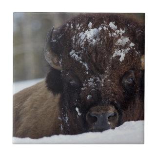 Carreau Bison Taureau, hiver 2