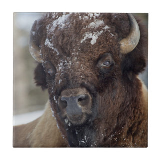 Carreau Bison Taureau, hiver 3
