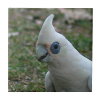 Carreau Cacatoès observé par bleu