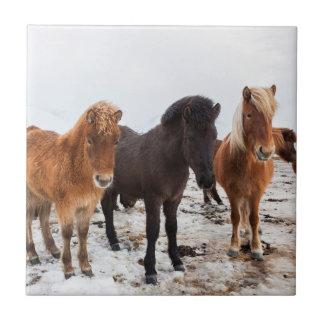 Carreau Cheval islandais pendant l'hiver sur l'Islande