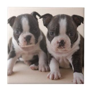Carreau Deux chiots de Boston Terrier