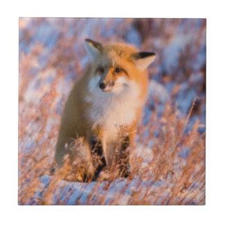 Carreau Fox rouge dans la faune de Churchill d'hiver