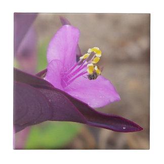 Carreau le plante pourpre a appelé le spiderwort et une