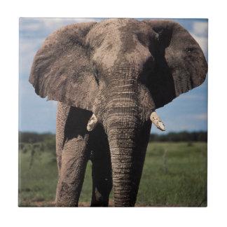Carreau Mâle de jeunes d'éléphant