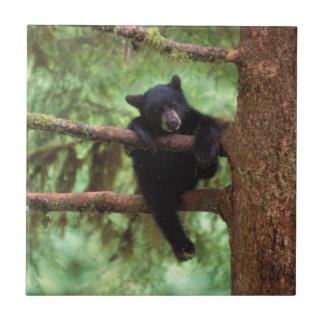 Carreau ours noir, Ursus américanus, petit animal dans un