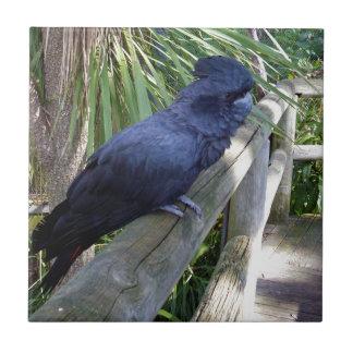Carreau Perroquet noir australien,