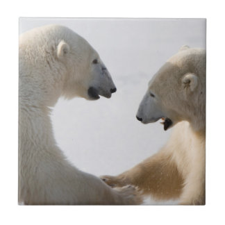 Carreau Sparring d'ours blancs