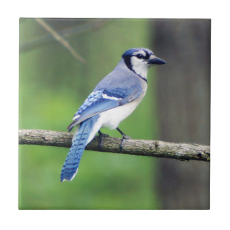 Carreau Tuile en céramique de photo de geai bleu