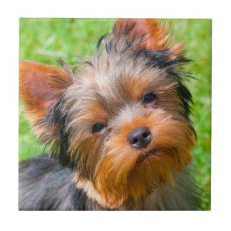 Carreau Yorkshire Terrier recherchant