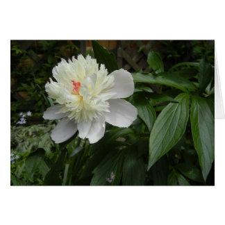 Carte de pivoine (Paeonia)
