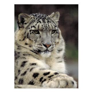 Carte d'information de léopard de neige carte postale