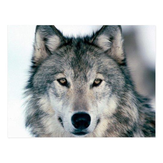 carte postal loup