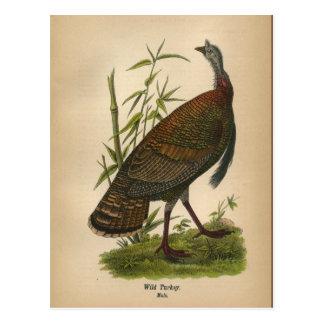 Carte postale 1890 sauvage de la Turquie d'oiseau