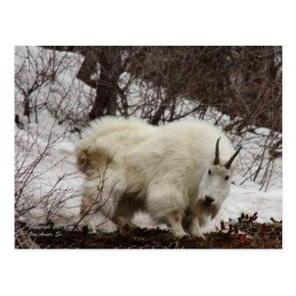 Carte postale #2 de chèvre de montagne rocheuse