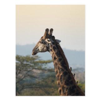 Carte Postale Accrocher un tour sur une girafe