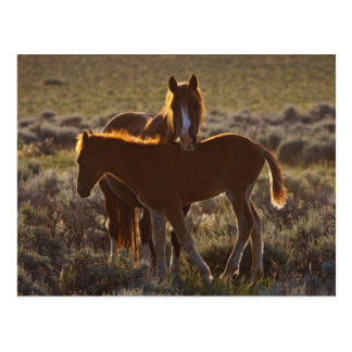 Carte Postale Adulte et colt sauvages de caballus d'Equus de