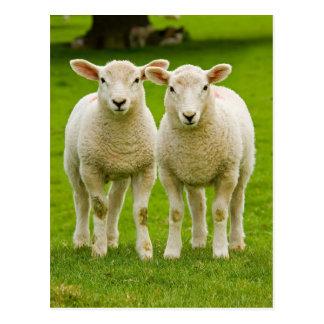 Carte Postale agneaux jumeaux