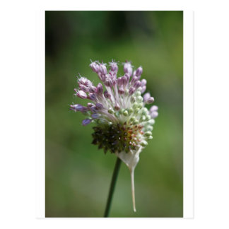 Carte Postale Ail sauvage de fleur sauvage d'ail sauvage -