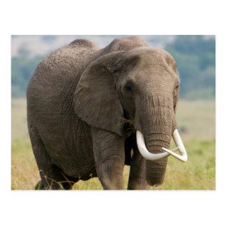 Carte Postale Alimentations solitaires d'éléphant (Loxodonta
