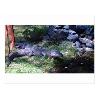 Carte Postale Alligator ! !
