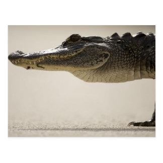 Carte Postale Alligator américain, alligator