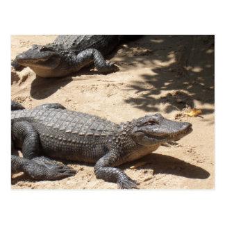 Carte Postale Alligators américains