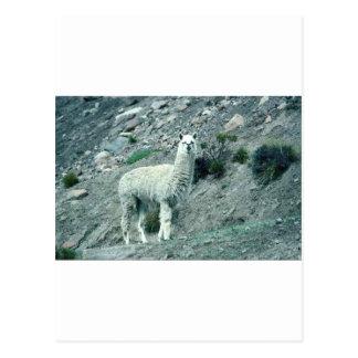 Carte Postale Alpaga