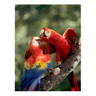 Carte Postale Amazone, Brésil. Paires d'aras d'écarlate (arums