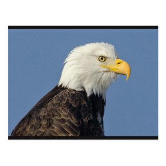 Carte postale américaine d'Eagle chauve II