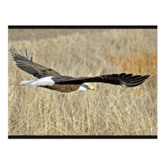 Carte postale américaine d'Eagle chauve III