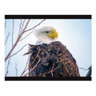 Carte postale américaine d'Eagle chauve IV
