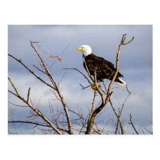 Carte postale américaine d'Eagle chauve V