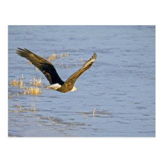 Carte postale américaine d'Eagle chauve VI
