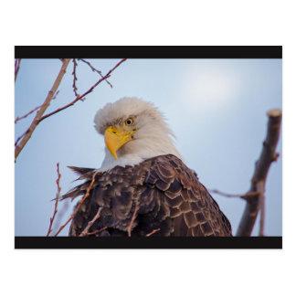 Carte postale américaine d'Eagle chauve VII