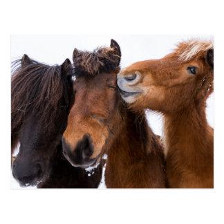 Carte Postale Amis islandais de cheval, Islande