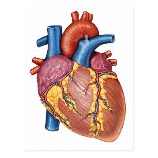 Carte Postale Anatomie brute du coeur humain