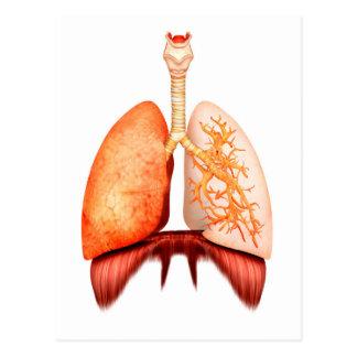 Carte Postale Anatomie d'appareil respiratoire humain, vue de