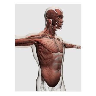 Carte Postale Anatomie des muscles masculins dans le corps