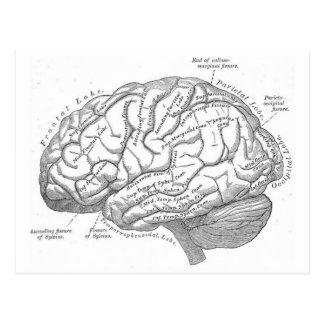 Carte Postale Anatomie vintage de cerveau