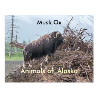 Carte Postale Animaux de boeuf d'Alaska-musc