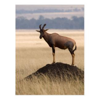 Carte Postale Antilope de Tsessebe sur la surveillance pour des