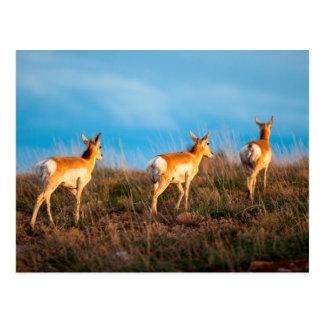 Carte Postale Antilope trois marchant loin au coucher du soleil