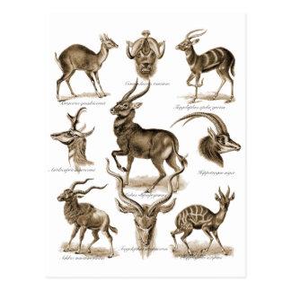 Carte Postale Antilopes