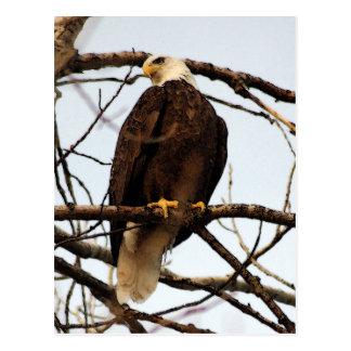 Carte Postale Aquarelle d'Eagle chauve